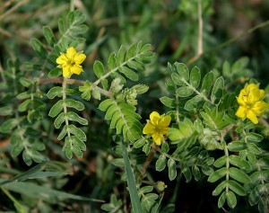 Image of tribulus terrestris