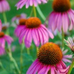 echinacea side effects